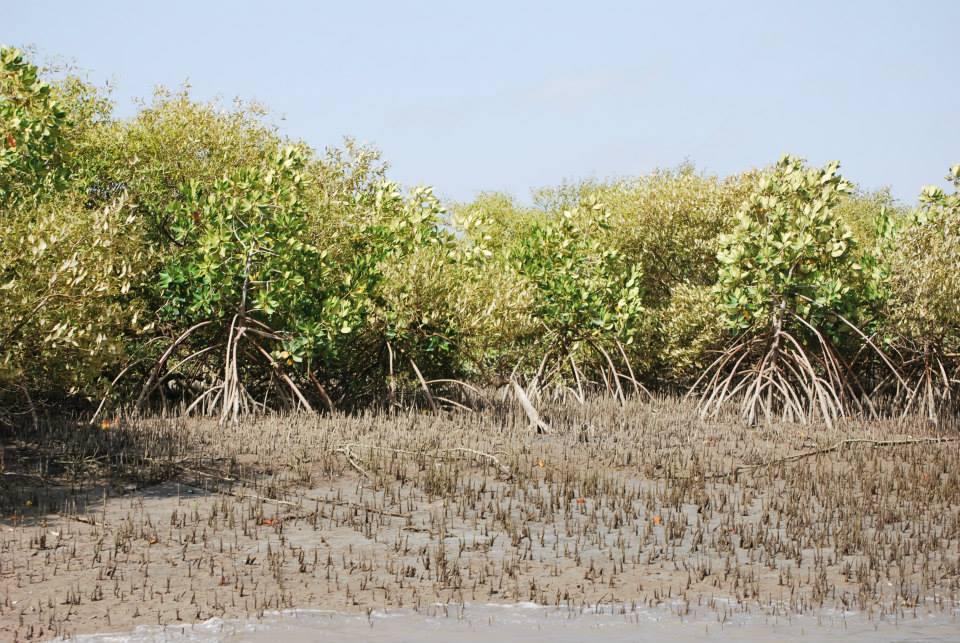 SINDH FOREST   Mangroves